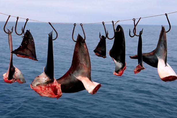 Sharks Are Mutilated While Alive and Thrown Into the Sea by Evil Fishermen
