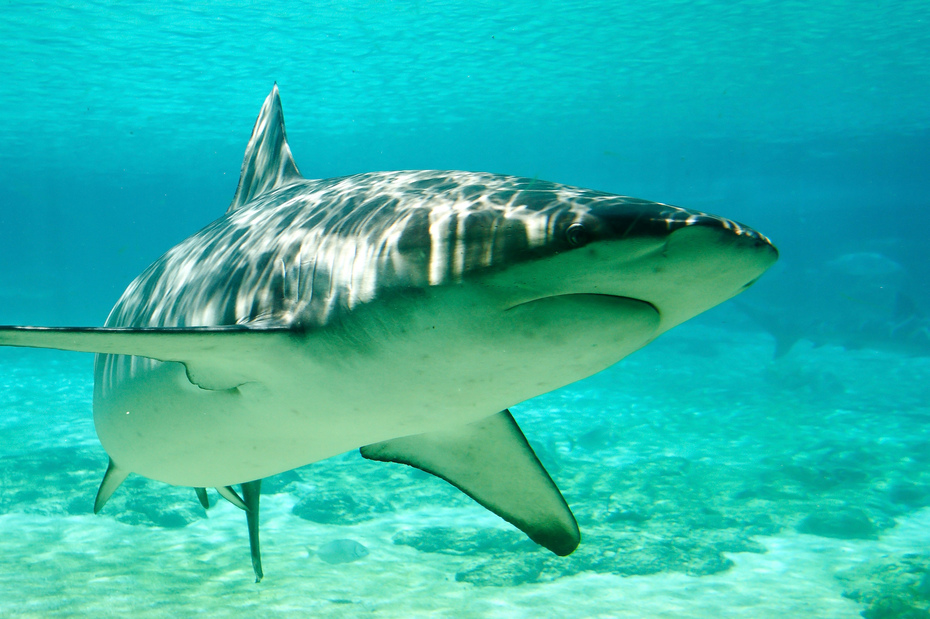 Sharks Become Proficient With Climate Change
