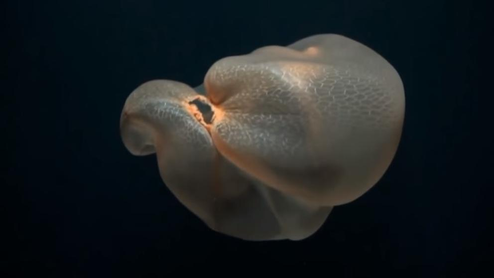 Specimen of 'Deepstaria enigmatica' observed off the coast of Mexico