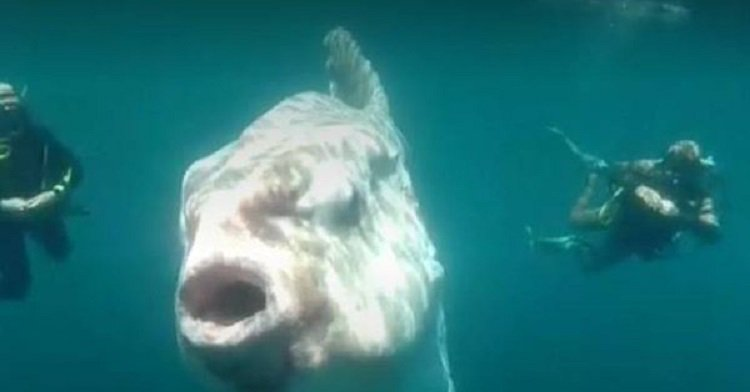 Surprising Sighting of the Sunfish on the Coasts of Northern Chile