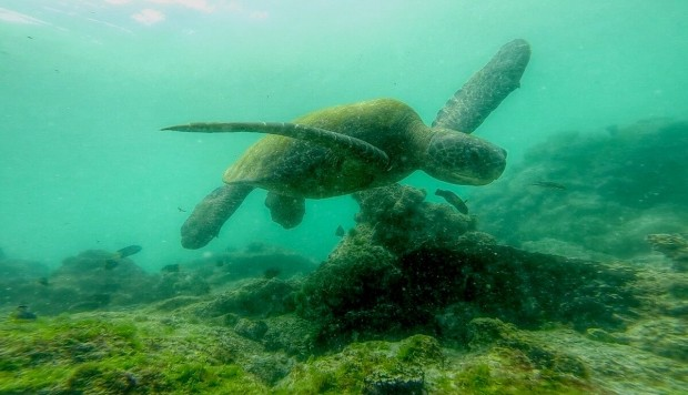 The Incredible Life of Silvia, The Sea Turtle That Overcame The Dangers Of The High Seas To Reproduce