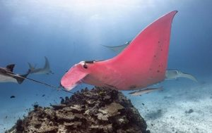 The Only PINK Stingray In The World ... Meet Inspector Closeau