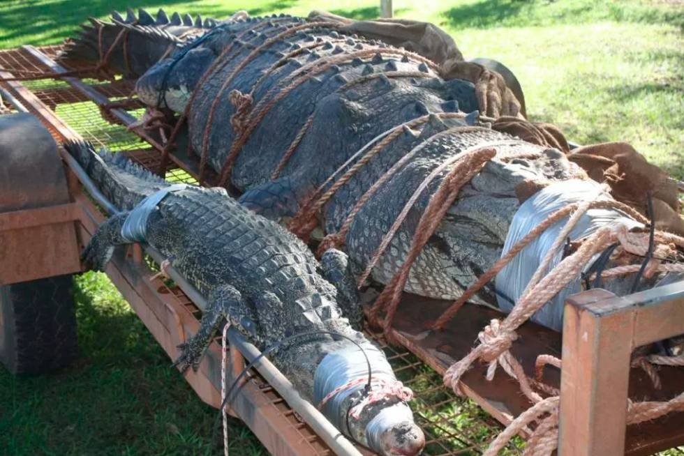 They Capture a Huge Crocodile that Generated Fear in Australia Since 2010