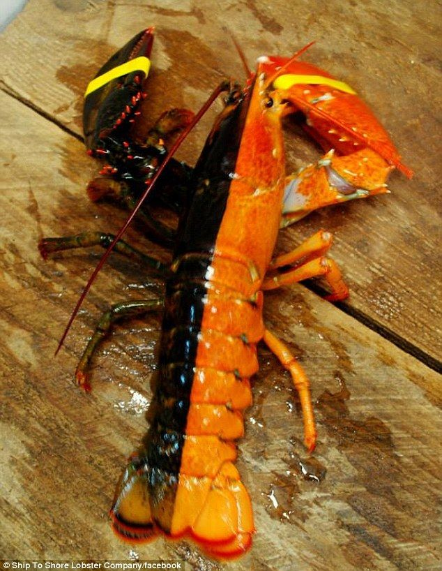 They Find A Rare Perfectly Separated Bicolour Lobster In The United States