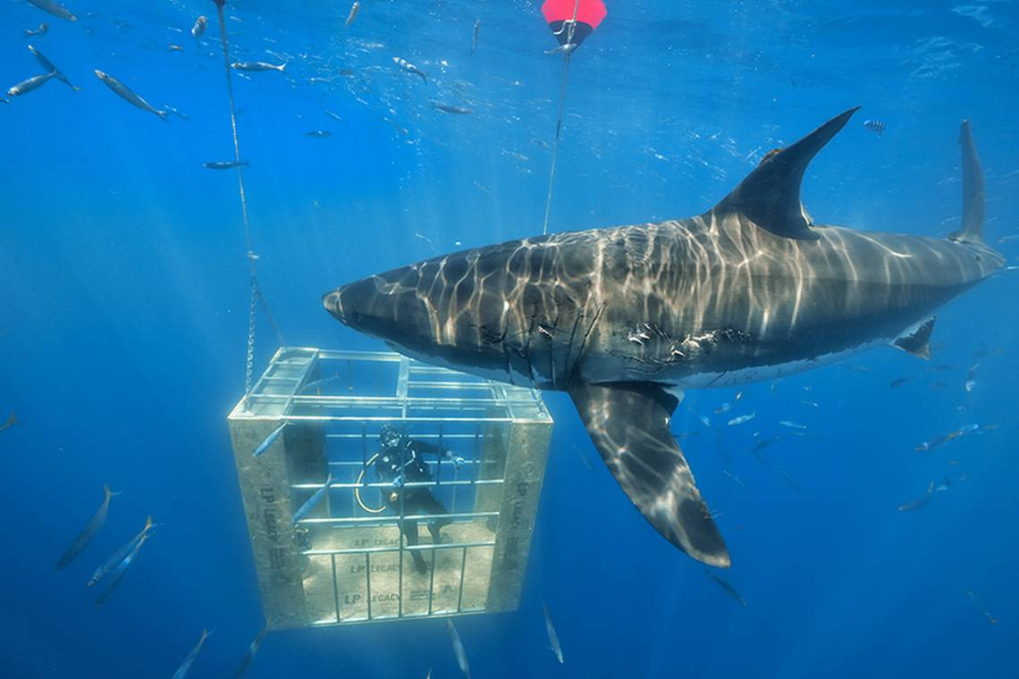 They Find Long-Finned Shark Carite of Almost 700 Pounds