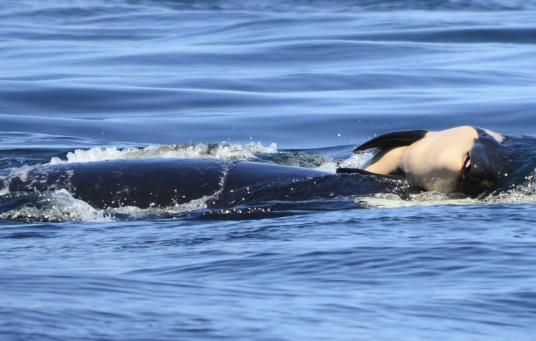 They Plan To Capture Sick Killer Whale As A Last Resort In The US