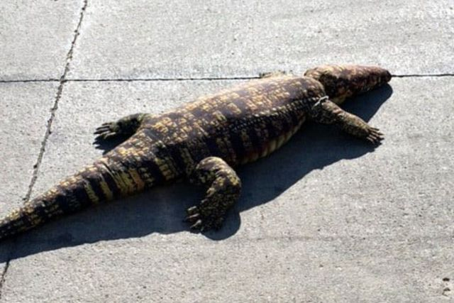 They report the presence of an alligator in the street officers are shocked when they arrive