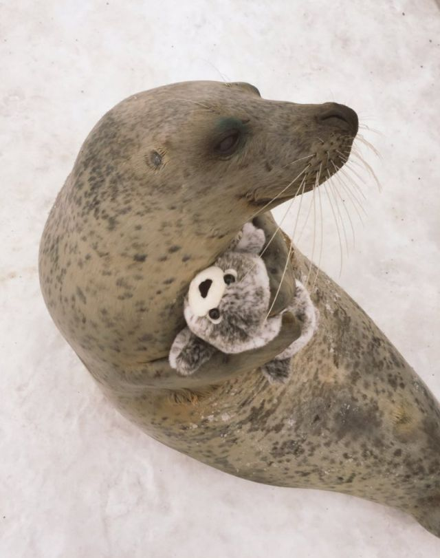 This Seal Hugging A Stuffy Is The Most Adorable Thing Ever!
