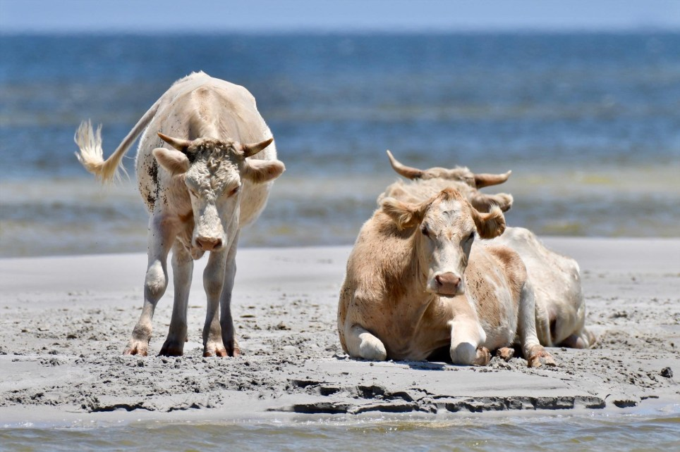 Three Cows Swept Away By Hurricane Dorian Are Found Safe And Sound On An Island