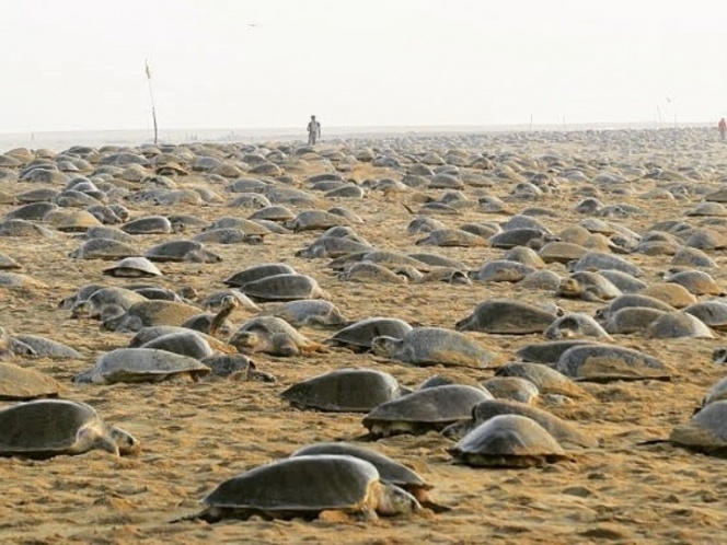 They Invade An Empty Beach To Nest For The First Time In Years Due To Covid-19