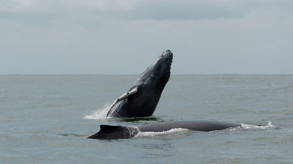 Whale Watching Carelessness In the Pacific Puts Them In Danger