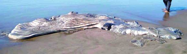 Whale Went to Die on a Mexican Beach