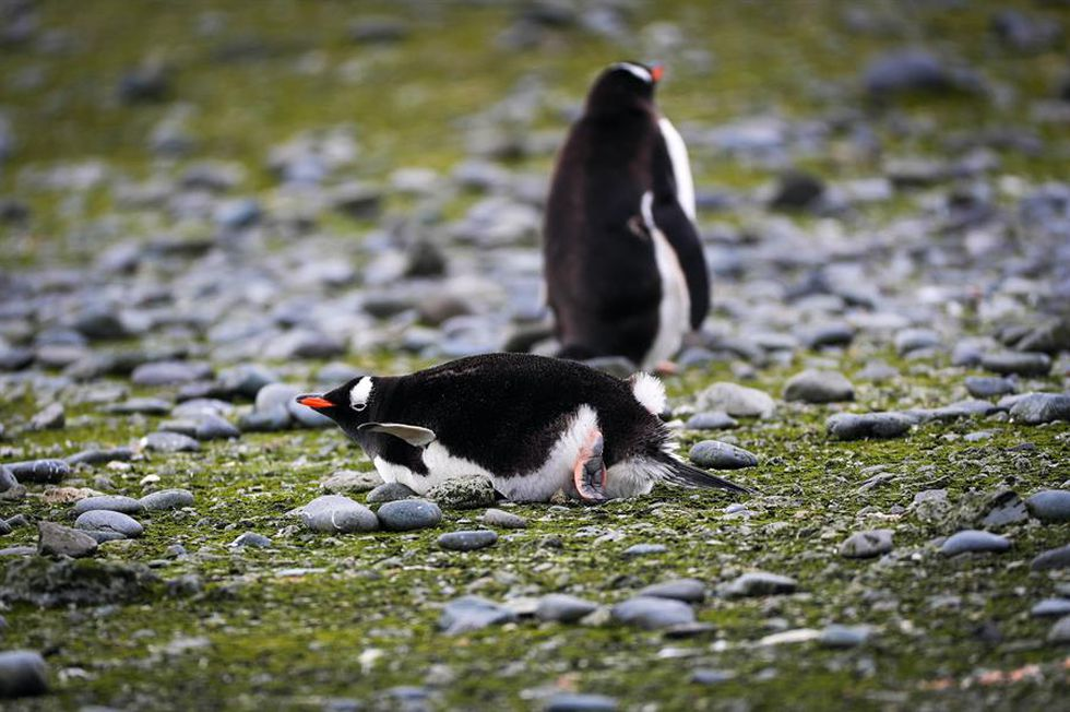 Why have almost a million king penguins disappeared from the 'Island of Pigs?